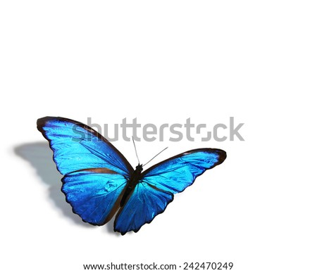 Blue tropical butterfly , isolated on white - stock photo
