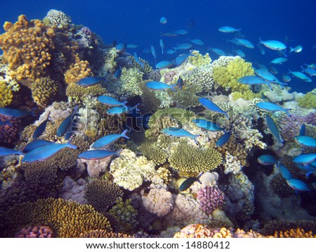 blue tropical fishes and coral reef - stock photo