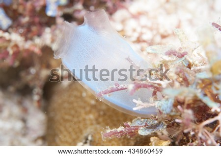 Blue Tunicates - stock photo
