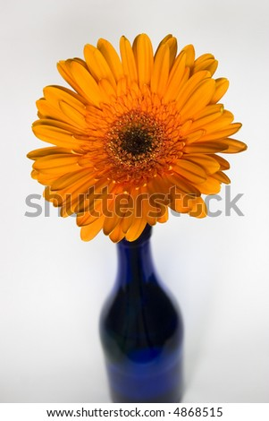 Blue vase with orange gerbera flower - stock photo