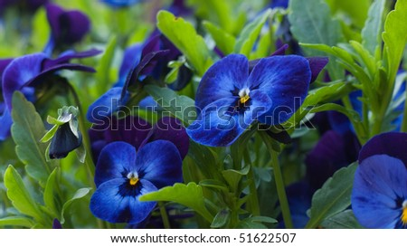 Blue viola - stock photo