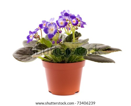 blue violet houseplant