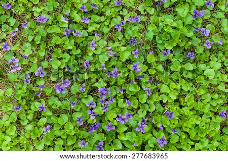 Blue violets as ground cover - stock photo