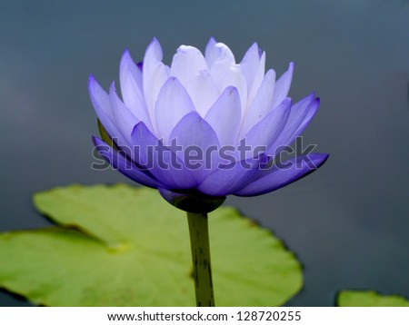 Blue water lily, lotus - stock photo