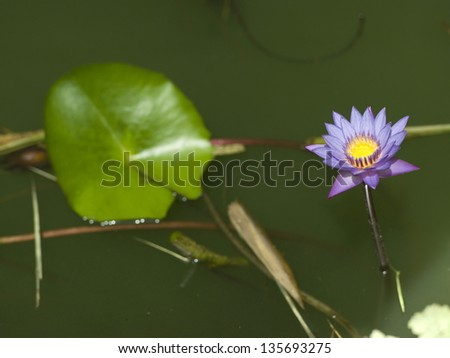 Blue Water Lily on swamp background.