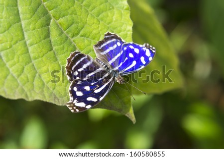 Blue Wave butterfly sitting on a green leaft - stock photo
