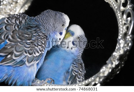 Blue wavy parakeet with reflection in  mirror - stock photo