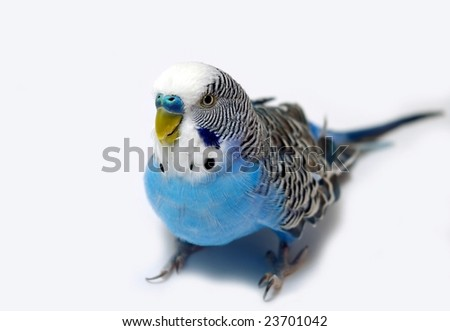 Blue wavy parrot on light background - stock photo