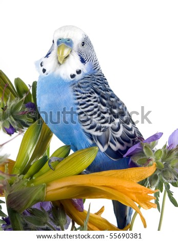 blue wavy parrot sits on a flower (isolated on a white background) - stock photo