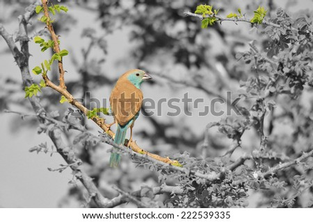 Blue Waxbill - African Wild Bird Background - Beautiful Blue and Nature's Colors - stock photo
