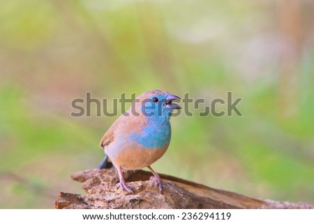 Blue Waxbill - African Wild Bird Background - Colorful Nature and Tranquil Father Time - stock photo