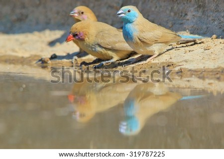 Blue Waxbill - African Wild Bird Background - Colors of Life and Relaxation  - stock photo
