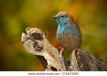 Blue Waxbill, Uraeginthus angolensis, detail of exotic blue and orange African song bird  in the nature habitat, Botswana, Africa - stock photo