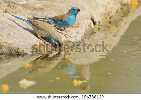 Blue Waxbill - Wild Bird Background from Africa - Colorful avian species from the Animal Kingdom and agile beauty from Mother Nature. - stock photo