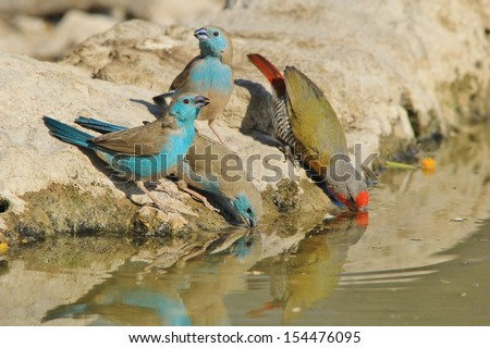 Blue Waxbill - Wild Bird Background from Africa - Drinking water is a fine art, and color is given - stock photo