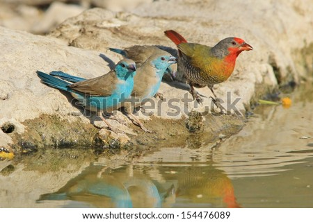 Blue Waxbill - Wild Bird Background from Africa - Sharing water with a Melba Finch, color abound and everywhere. - stock photo