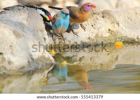 Blue Waxbill - Wild Bird Background from Africa - Sharing water with a Violet-eared Waxbill  - stock photo