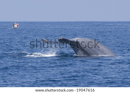 Blue Whale and fishing boat - stock photo