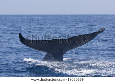 Blue Whale fluke - stock photo