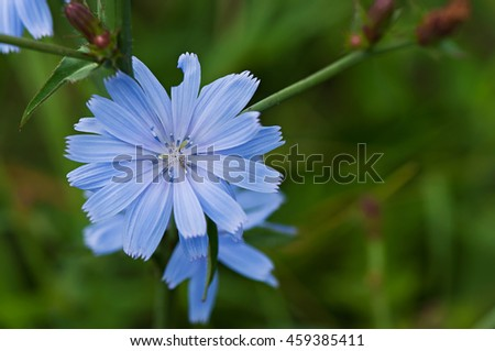 Blue wild flower on a green background, flora. - stock photo