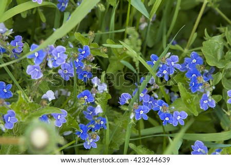 Blue wild flowers Germander Speedwell (Lat. Veronica chamaedrys), selective focus with shallow depth of field.    - stock photo