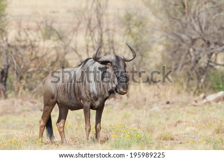 Blue wildebeast standing on green grass