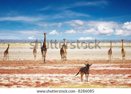 Blue wildebeest and giraffes in african savanna, Etosha N.P., Namibia - stock photo