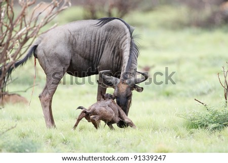 Blue Wildebeest and newly born calf - stock photo