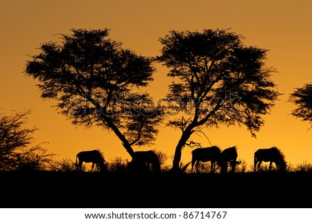 Blue wildebeest (Connochaetes taurinus) and an African Acacia tree silhouetted against a red African sunset - stock photo