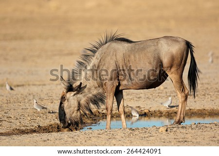 Blue wildebeest (Connochaetes taurinus) at a waterhole, Kalahari desert, South Africa - stock photo