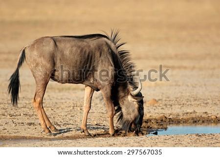Blue wildebeest (Connochaetes taurinus) at a waterhole, Kalahari desert, South Africa - stock photo