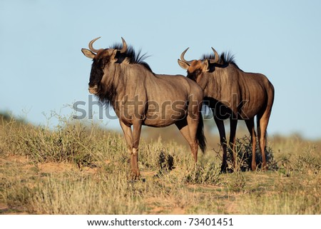 Blue wildebeest (Connochaetes taurinus), Kalahari desert, South Africa - stock photo