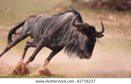 Blue wildebeest (Connochaetes taurinus) running in savannah in South Africa - stock photo