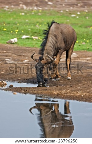 Blue wildebeest; Connochaetes taurinus; South Africa - stock photo
