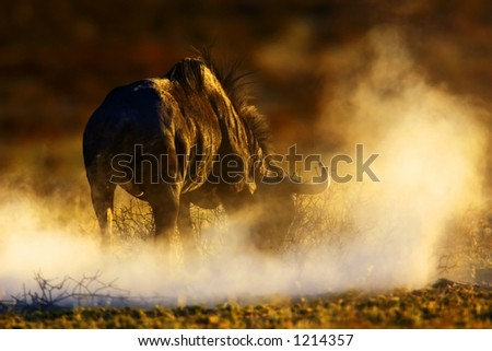 Blue wildebeest : connochaetes taurinus : South Africa : Kalahari dessert - stock photo