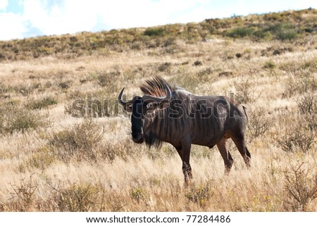 blue wildebeest  gnu in the Kalahari in the Kgalagadi Transfrontier Park in South Africa