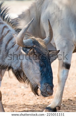 Blue wildebeest in national park. Connochaetes taurinus. - stock photo