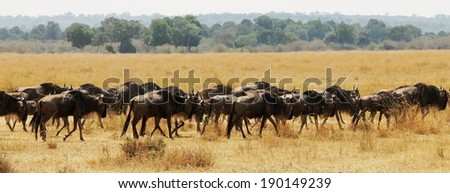 Blue Wildebeest or Brindled Gnu - Scientific name: Connochaetes taurinus. Long line of individuals following the pack leader during the Great Migration. Masai Mara National Reserve, Kenya, East Africa - stock photo