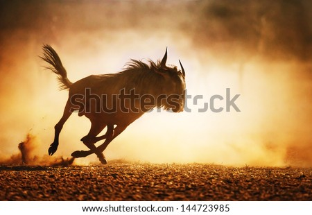 Blue wildebeest running in dust - Kalahari desert - South Africa - stock photo