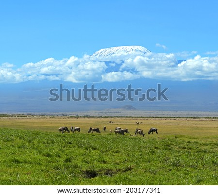 Blue wildebeests in the African wild habitat - stock photo