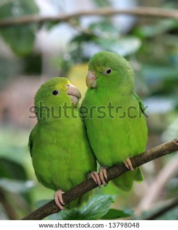 Blue-Winged Parrotlets in Love - stock photo