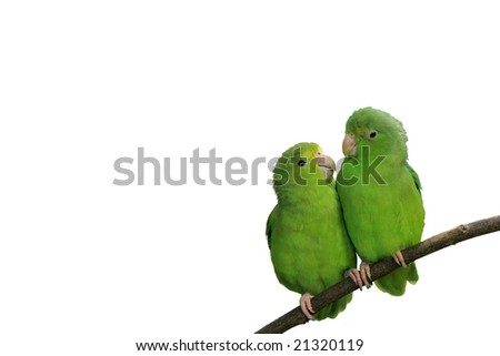 Blue-winged Parrotlets in Love Isolated with Text Space - stock photo
