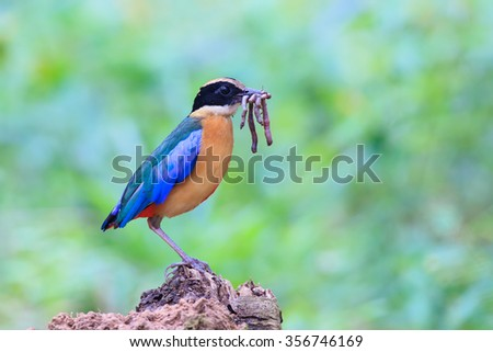 Blue-winged Pitta (Pitta moluccensis) on the wood in nature of Thailand