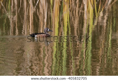 blue-winged teal (Anas discors) duck swimming alone in a small pond during the early hours of a bright morning