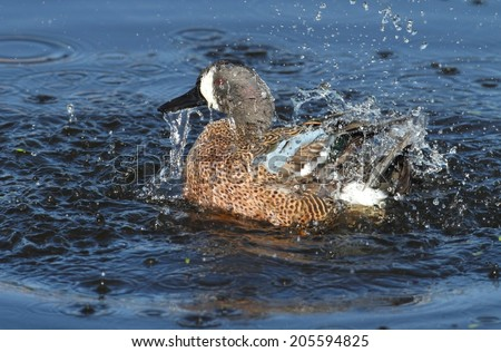 Blue-winged Teal (anas discors) in the Florida Everglades - stock photo