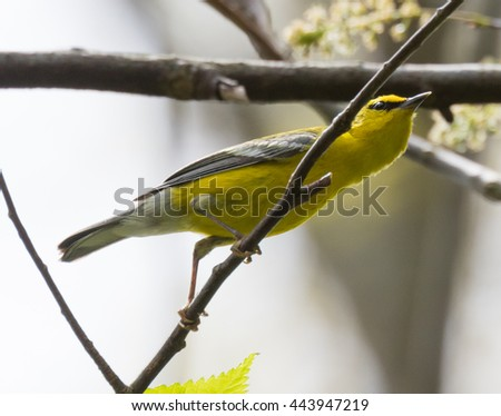 Blue-winged Warbler (Vermivora cyanoptera) perched on a branch - stock photo