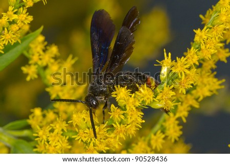 Blue-winged Wasp  (Scolia dubia)