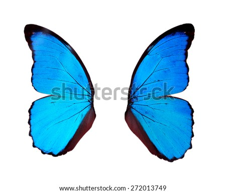 Blue wings butterfly isolated on white background.  - stock photo