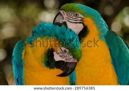 Blue-Yellow Macaws, Grooming