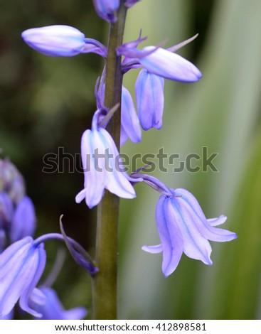 Bluebell - stock photo